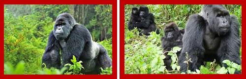 http://www.kenyawalk.com/images/body/gorilla-2.jpg